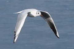 Black headed gull (Shane Jones) Tags: blackheadedgull gull bird seabird birdinflight wildlife nature nikon d500 200400vr tc14eii