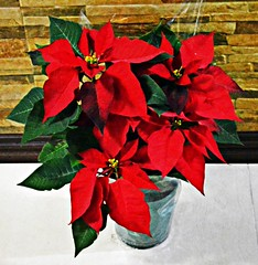 My Christmas Flower (diamonds_in_the_soles_of_her_shoes) Tags: poinsettia teampilipinas christmassymbol christmas