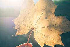 Une feuille (Chloé +++) Tags: automne autumn lumière light transparence feuille leaf transparency sun soleil jour canon os 400d canonos400d proxi france campagne