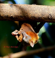 Little red flying fox. Pteropus scapulatus. (paulberridge) Tags: littleredflyingfox pteropusscapulatus bat megabat flyingfox fruitbat pest native colony red rainforest tree nationalpark capeyork cairns queensland australia cannon macro outdoor brown nectar flowers blossom