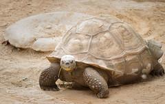 Turtle (runeurope) Tags: wildlifeworldzoo lichfieldparkaz arizona az schildkrte galapagostortoise tortoise