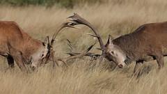 Push and shove (Hammerchewer) Tags: reddeer deer stags rut wildlife outdoor