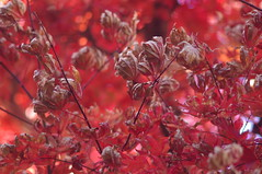 In My Time of Dyin' (runslikethewind83) Tags: japan leaves leaf red autumn fall life nature 2016 pentax pentaxkx season