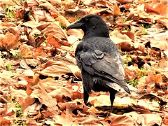 Carrion Crow (Martellotower) Tags: corvus corone crow foraging autumn leaves carrion bird british