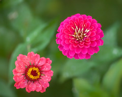 Square Zinnia... (zoomclic) Tags: canon closeup colorful zinnia dof dreamy bokeh green garden pink flower foliage flowers nature twosum bright cheery summer square zoomclicphotography canoneos5dmarkii ef85mmf12liiusm