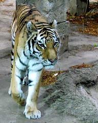 Amur tiger 4 (auntiepauline) Tags: philadelphiazoo amurtiger tiger