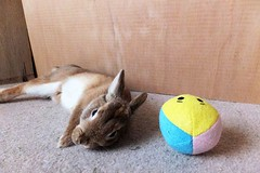 Ichigo san 484 (mensore) Tags:  rabbit bunny netherlanddwarf brown