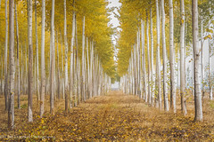 The welcome party (Cate Fraenkel) Tags: boardman oregon poplar trees treefarming forestry fall leaves yellow forest