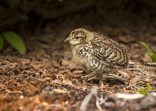 Ptarmigan Chick 1