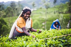 Tea picker in a tea plantation in the 'tea country', aka 'hill country' or 'Sri Lanka Highlands', Nuwara Eliya District of Sri Lanka, Asia (inforsrilankatravels) Tags: 1 2 adult agriculture asia centralhighlands copyspace countryside crops dalhousie doublepagespread dps face farming female green happy hatton headandshoulders highlands horizontal image laboring labouring locals nuwaraeliyadistrict one people person photo photoof photography picking pickingtea picture pictureof plucking pluckingtea portrait portraiture rural smile smiley smiling southasia srilanka srilankahighlands srilankahillcountry srilankateacountry srilankan tealeaves teapicker teaplantation teaplantations teaplucker travelphotographer travelphotography travelportraitphotography two woman worker working adamspeak