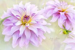 Dahlia Maiko Girl (Jacky Parker Floral Art) Tags: dahlia flower flowers pink maikogirl closeup selectivefocus focusonforeground horizontalformat floralart beautyinnature freshness fragility outdoors nopeople delicate softness softpink softfocus perennial herbaceous flowerphotography blooms flora naturephotography uk nikon
