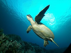 reaching out (BarryFackler) Tags: turtle cheloniamydas greenseaturtle marinereptile seaturtle scuba honu westhawaii cmydas reptile hawaiiangreenseaturtle nature marine tropical hawaii fauna konadiving ocean creature aquatic vertebrate underwater diver zoology bay saltwater island pacificocean ecology animal sealife hawaiicounty water outdoor barryfackler coralreef marineecology dive sealifecamera being organism polynesia reef sea hawaiiisland coral marinebiology bigislanddiving pacific marineecosystem bigisland sandwichislands seacreature southkona honaunaubay honaunau kona hawaiidiving ecosystem undersea biology barronfackler hawaiianislands