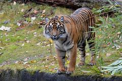 Sumatran tiger - Burgers Zoo (Mandenno photography) Tags: dierenpark dierentuin dieren animal animals bigcat big cat burgerszoo burgers tiger tijger tigers tijgers sumatran sumatraanse nederland netherlands