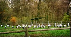 IMG_2219 storks gathering (pinktigger) Tags: stork cigea storch cicogne ooievaar ciconiaciconia cicogna cegonha bird nature fagagna feagne friuli italy italia oasideiquadris animal outdoor