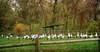 IMG_2219 storks gathering (pinktigger) Tags: stork cigüeña storch cicogne ooievaar ciconiaciconia cicogna cegonha bird nature fagagna feagne friuli italy italia oasideiquadris animal outdoor