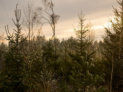 EE130883 - conifers at the golden hour (Mytacism) Tags: trees natue tree cornifer 50200 swd olympus sweden winter golden hour pine fir evergreen