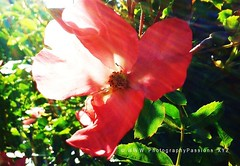 155. RED ROSE: Dappled By  Apollo (www.YouTube.com/PhotographyPassions) Tags: plant flower outdoor silhouette redrose rose blossom bloom bush shrub sunny bright red roseleaves leaves buds sunrays petals bud roseflower rosepetals rosebush roseplant rosebud rosebuds