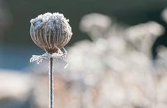 Eisknigin (zoomazoomarum) Tags: natur winter frost pflanze