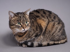 7e0_c095955-studio-cat (Wolfgang Lonien) Tags: animal cat catportrait tuna studiolights seamlessbackground