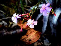 Flores em destaque, cerrado rupestre. Featured flowers. (leovigildo Santos) Tags: flower flores flora cerrado savannah brasil gois rupestrian rupestra rock native wild macro
