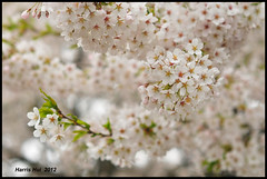 White On White - Cherry Queen Elizabeth Park N8818e (Harris Hui (in search of light)) Tags: flowers trees light white canada color closeup vancouver cherry spring nikon soft dof bc cloudy bokeh blossoms 85mm overcast rules richmond cherryblossoms whiteonwhite citypark queenelizabethpark qepark shallowdepthoffield badlight beautifulflowers d300 springblossoms softtones monocolor largeaperture nikon85mmf18 nikonuser softlook portraitlens rulesaremeanttobebroken rulesofphotography nikond300 beautifulcherryblossoms harrishui vancouverdslrshooter givemetheruleandiwillbreakit pleaebreaktherules