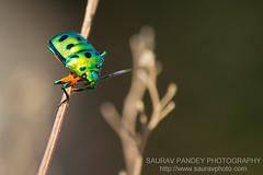 Jewel bug (Saurav Pandey) Tags: india lake nature bug bangalore karnataka jewel jewelbug anekal bngbirds anekallake