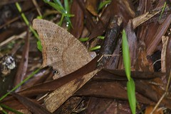 Common Evening Brown (Steve Kacir) Tags: brown animal butterfly insect australia lepidoptera queensland animalia arthropoda tablelands arthropod hexapod northqueensland insecta uniramia athertontablelands nymphalidae hexapoda pterygota wingedinsect satyrinae commoneveningbrown melanitisleda papilionoidea metazoa bilateria ecdysozoa neoptera endopterygota eukaryote macrolepidoptera eukaryota ditrysia neolepidoptera eveningbrown rhopalocera brushfootedbutterfly protostomia dicondylia heteroneura glossata pterygote apoditrysia protostome melanitis obtectomera melanitini satyrid fourfootedbutterfly dindenstateforest daviescreekfalls ecdysozoan unikont opisthokont endopterygote satyrine