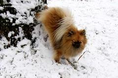 P1065568 (LittlePomAgility) Tags: portrait orange dog snow tree cute smile face back funny poland german trick paws pomeranian spitz
