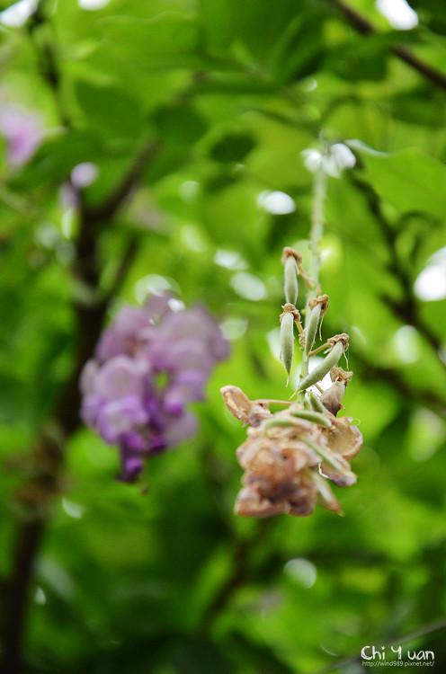 植物園紫藤05.jpg