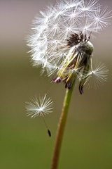 Separation (Photo Amy) Tags: white plant macro green weed seed fluffy dandelion seeds 100mmf28 seeding canoneos50d