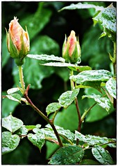 Raindrops on Roses (Celtic Clouds) Tags: roses orange flower macro green floral leaves rain rose closeup zoom rosa rosebud raindrops apricot bud rosegarden englishgarden raindropsonroses