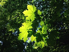 Shadow leaves (whooosh.) Tags: wood light shadow sunlight tree green nature leaves leaf spring maple forrest iphone