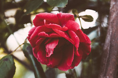 . (Escotofbica) Tags: light red flower green nature beauty rose spring delicate