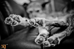 Day 141 - Somehow... (KerryJordanTog) Tags: sleeping portrait pet pose paw lurcher