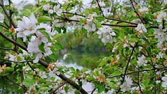 River between Blooms (RichardBH) Tags: flowers spring
