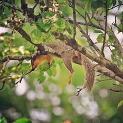 Siesta III (liquidnight) Tags: camera tree cute animals oregon portland relax backyard nikon nap bokeh wildlife branches lounge urbanwildlife perch siesta rest pdx balance laurelhurst comfy ornamentalpear foxsquirrel d90 easternfoxsquirrel sciurusniger instagram uploaded:by=flickrmobile flickriosapp:filter=nofilter