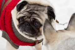 Pug (vintikzzzz) Tags: winter dog pug clothes warn