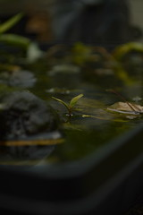 sprout. (looking-glass emotions) Tags: plant reflection nature water leaves dark leaf focus natural bokeh bean shade sprout