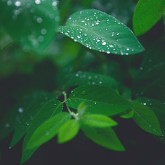 'Green Drops', United States, New York, Hamptons, Sag Harbor (WanderingtheWorld (www.LostManProject.com)) Tags: trees summer green water leaves rain leaf hamptons branch drop foliage vegetation droplet verdant summertime lush moisture bridgehampton drizzle precipitation