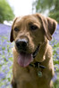 cody (Kayleigh McCallum) Tags: uk boy dog cute photography scotland labrador cody 2013 foxredlabrador