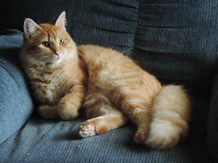 Getting Larger By The Day (rabidscottsman) Tags: orange beautiful cat furry chair orangecat nikon leo lazy mainecoon coolpix recliner p520 scotthendersonphotography nikonp520