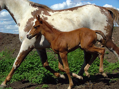 Paint horse with foal (Ryan Wunsch) Tags: horse foal painthorse ryanwunsch