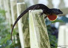 Male cuban anole. (Thenameskimmm) Tags: tree male garden amazon gulf reptile snake awesome tortoise lizard caterpillar boa anole cuban phase fritillary cooll