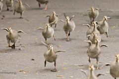 "Aeroplanes ... aka ... ""Here Come the Chicks"" (RichardBeech) Tags: nature birds animals geese spring wings funny wildlife young running goslings dorset poole aeroplanes tsc greylag canon5dmarkii richardbeech wwwrichardbeechphotographycom"