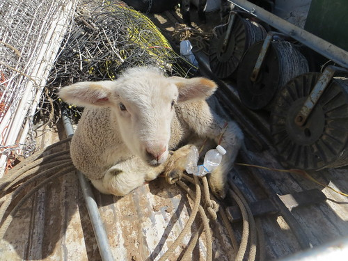 Sheep in Truck