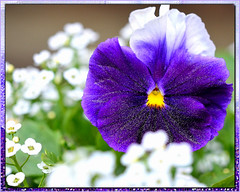 Pretty Purple Pansy (naturetrails) Tags: flower pansy purpleflower purplepansy