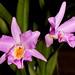 Laelonia (Broughtonia negrilensis x Laelia crawshayana) – Helge Weissig