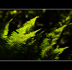 Fully Fernished (Prestidigitizer) Tags: fern backlight forest spring woods bokeh seeds pteridophyta pentaxk10d platinumheartaward pentaxda50135mm mygearandme flickrstruereflection1