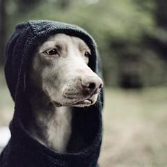 """The Dogside Project"", tribute to W.Wegman (Lcdpix) Tags: portrait dog 6x6 film dogs nature animals analog zeiss 35mm project landscape photography weimar starwars hasselblad weimaraner carl medium format tribute darkside 120mm carlzeiss filmisnotdead 120m dogside believeinfilm"