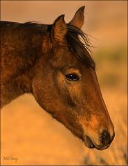 Up-close_DSC7746 (Mel Gray) Tags: wildhorses wildanimals garubplains